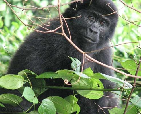 GorillaUganda